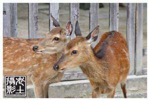 Free running deers in Miyajima